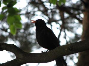Blackbird,_Bystrc_14