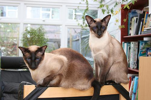 siamese-twin-cats